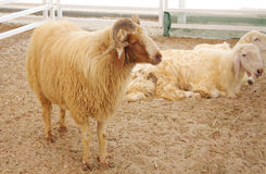 Awassi sheep Stock Images