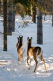 away deers walking Στοκ Φωτογραφία