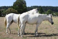 away köra hästar kan jag t-white Royaltyfri Foto