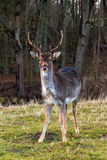 AWD buck Royalty Free Stock Images