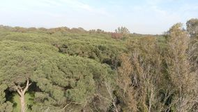 Awe aerial view over stone pine forest with beautiful scenery.  stock video