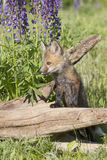 Awe so cute. Cute young red fox kit on log by lupine flowers Royalty Free Stock Photography