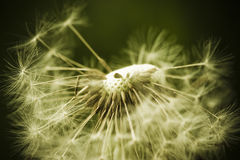 Awe dandelion Royalty Free Stock Photos