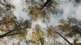 Awesome autumn forest. The tops of the trees bear against the blue sky. Falling leaves. stock footage