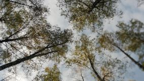 Awesome autumn forest. The tops of the trees bear against the blue sky. Falling leaves. Awesome autumn forest. The tops of the trees bear against the blue sky stock video footage