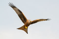 Awesome bird of prey in flight Royalty Free Stock Photo
