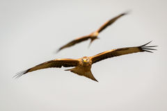 Awesome bird of prey in flight Royalty Free Stock Images
