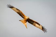 Awesome bird of prey in flight Stock Photos