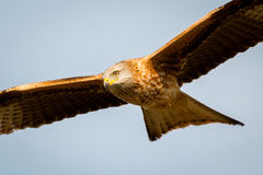 Awesome bird of prey in flight Stock Photo