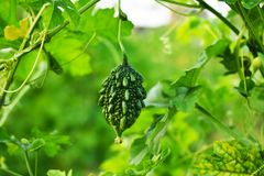 Bitter gourd with leaves  background Stock Photos
