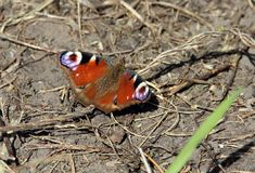 Awesome butterfly on the ground Stock Photos