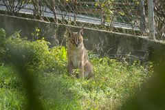 Awesome Caracal stare at ZOO Stock Photography