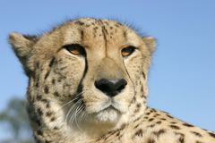 Awesome Cheetah. Up close and personal with a magnificant cheetah Stock Photo