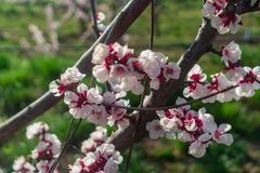 An awesome cherry blossom. In the spring stock images