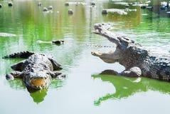 Awesome crocodiles. Fierce Was raised on a farm royalty free stock photo