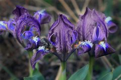 Awesome irises, like a fluorescent lamp that attracts the eye royalty free stock photo