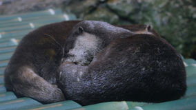 Awesome otters in aquarium of Thailand in Bangkok Royalty Free Stock Image