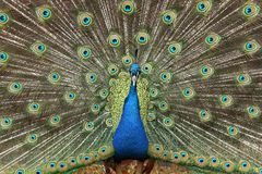 Awesome Peacock Royalty Free Stock Photos