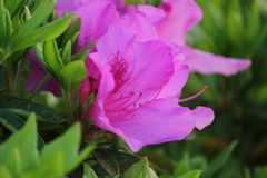 Awesome Pink Azalea Flower. An Awesome Pink Azalea Flower Flower in Yamaguchi. A beautiful flower blossom in 2017 Royalty Free Stock Photo