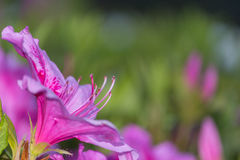 Awesome Pink Azalea Flower. An Awesome Pink Azalea Flower Flower in Yamaguchi. A beautiful flower blossom in 2017 Royalty Free Stock Images