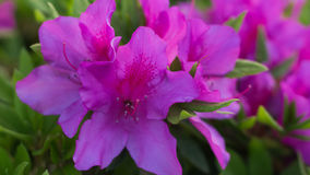 Awesome Pink Azalea Flower. An Awesome Pink Azalea Flower Flower in Yamaguchi. A beautiful flower blossom in 2017 Stock Photo