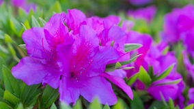 Awesome Pink Azalea Flower. An Awesome Pink Azalea Flower Flower in Yamaguchi. A beautiful flower blossom in 2017 Royalty Free Stock Image