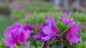 Awesome Pink Azalea Flower. An Awesome Pink Azalea Flower Flower in Yamaguchi. A beautiful flower blossom in 2017 Stock Photography