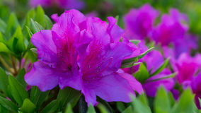 Awesome Pink Azalea Flower. An Awesome Pink Azalea Flower Flower in Yamaguchi. A beautiful flower blossom in 2017 Royalty Free Stock Photos