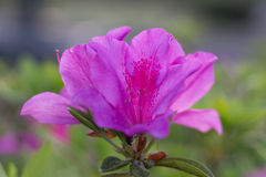 Awesome Pink Azalea Flower. An Awesome Pink Azalea Flower Flower in Yamaguchi. A beautiful flower blossom in 2017 Stock Images