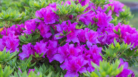 Awesome Pink Azalea Flower. An Awesome Pink Azalea Flower Flower in Yamaguchi. A beautiful flower blossom in 2017 Stock Image