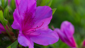Awesome Pink Azalea Flower. An Awesome Pink Azalea Flower Flower in Yamaguchi. A beautiful flower blossom in 2017 Stock Photos