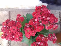Awesome red flowers garden Royalty Free Stock Photos