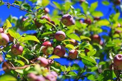 Awesome red organic apples hanging from a tree branch in an autumn apple orchard. Great picture of ripe apples in farmer meadow r. Eady for harvesting stock photography