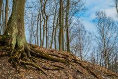 An awesome tree on Parnas mountain in Tsarskoe Selo, Pushkin, Sa. An awesome tree on Parnas mountain in  Tsarskoe Selo, Pushkin, Saint Petersburg Stock Photos