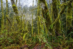 Awesome vegetation with mossy trees at Hoh Rain Forest Washington - FORKS - WASHINGTON Stock Images