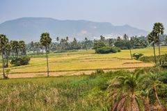 Awesome view of farming field looking good with palm trees in sequence. This snap was taken from railway in running train looking awesome Stock Photo