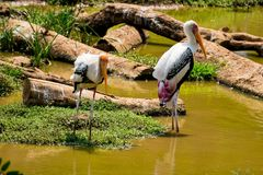 A lot of painted storks searching fish on water at zoo close view. Awesome view of painted storks at zoon wondering food or fish at muddy water in zoo royalty free stock photo