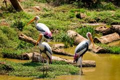 A lot of painted storks searching fish on water at zoo close view. Awesome view of painted storks at zoon wondering food or fish at muddy water in zoo royalty free stock photography