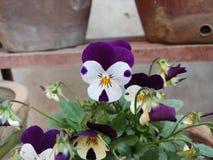 Awessome purpur i białych kwiaty obraz stock