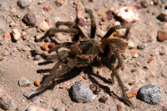 Awful Spider. Big hairy and scary patagonian spider moving through pampa Keywords stock photo