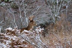 AWhite-замкнутые олени buck в снеге зимы в Канаде Стоковая Фотография