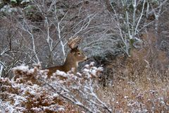 AWhite-tailed deer buck in the winter snow in Canada stock photography