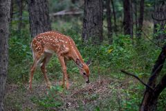 AWhite-tailed deer fawn Odocoileus virginianus in the forest in Canada Royalty Free Stock Photos