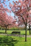 Ławka pod menchiami kwitnie drzewa w Greenwich parku Zdjęcia Stock