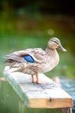 ławki kaczki kobieta Obraz Royalty Free