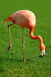 Awkward Flamingo. A flamingo stooping while walking looking for food Stock Photo