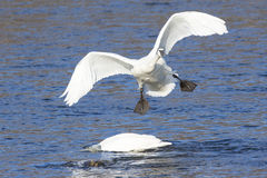 Awkward landing by trumpeter swan Royalty Free Stock Photos