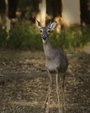 An awkward portrait of a spike white tail deer Stock Photo