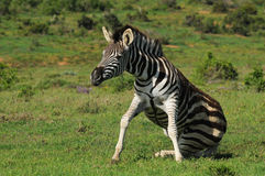 Awkward zebra Royalty Free Stock Photo