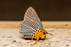 Awlet Butterfly Stock Photography